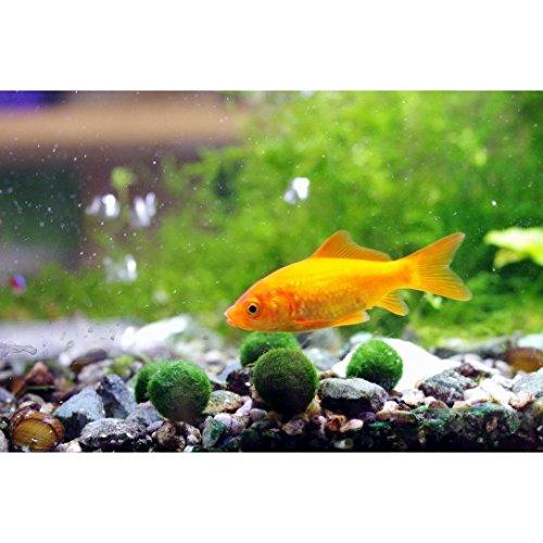 Marimo Moss Ball X 5+ 1 (0.5 inch) Free! Live Aquarium Aquatic Plant for Fish/shrimp Tank (USA) for discus betta decor ornament crystal algae aegagropila.Suitable for Coral reef brackish water aquarium/ terrarium too.