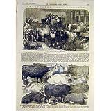 Impresión Antigua del Animal de la Vaca De Cuernos Cortos de la Vaca del Buey de Hereford del Bazar de 1856 Ganado...