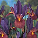 Dutch Iris Bulbs Eye of the Tiger