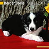 Border Collie Puppies 2014