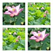 Nelumbo nucifera (Indian Lotus flower) - 100 seeds -