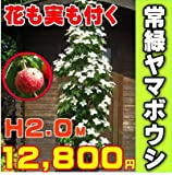 常緑ヤマボウシ樹高2.0m前後 ホンコンエンシス月光【最高品種】