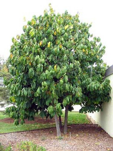 Paw Paw Tree