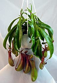 Asian Pitcher Plant – Nepenthes – Car…