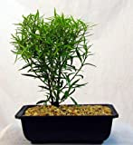 Bamboo Leaf Weeping Fig Bonsai Tree - Ficus salicifolia