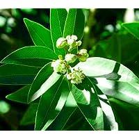 Hirt's Sweet Bay Laurel Herb Plant - Laurus nobilis - Indoors or Out