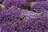 Alyssum Violet Queen Flower Seeds 5 Plugs /MULTI-BUY DISCOUNT/Fragrant ornamental plant forming real flower carpets