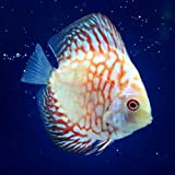 (熱帯魚)チェッカーボードピジョン・ディスカス(Sサイズ)(1匹) 本州・四国限定[生体]