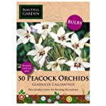 50 Peacock Orchids