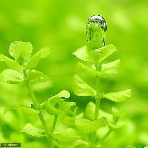 (水草)ラージパールグラス(無農薬)(10本) 本州・四国限定[生体]
