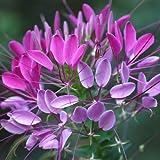 Flora Fields Cleome (Spider Flower) - Violet Queen