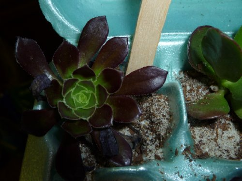 Succulent Terrarium & Fairy Garden Plants - 5 Different Plants in 2