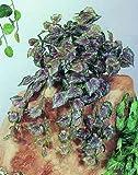 Begonia Busch dicht 180 Blätter 60cm