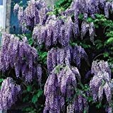 Chinese Species Blue Wisteria-Vine-Tree-Fragrant-Flowering-2pk By Growers Solution