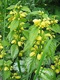 Lamium galeobdelum argentatum