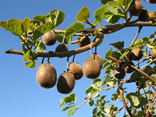 20-graines-semences-kiwi-groseille-de-chine-arbre-a-fruit-verger-potager