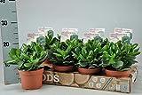 Crassula ovata 'Magical Tree' Plant. Money Tree / Jade Plant