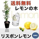 レモンの木 レモン 苗 リスボンレモン 2年生 接ぎ木 苗8号スリット鉢植え