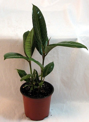 Burgundy Rubber Tree Plant - Ficus - An Old Favorite - 4