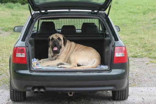 Any Massive Mastiff Taking the Place of Safety - 48