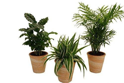 pflanzenservice-890906-indoor-trio-kaffee-pflanze-grunlilie-und-zimmerpalme-jeweils-mit-dekotopfen-t