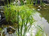 Real Papyrus, Cyperus Papyrus, Fresh Seeds, Eye-catching At the Pond 20 Seeds