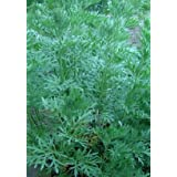 The Dirty Gardener Sagewort Artemisia Annua Sweet Wormwood, 10 Seeds