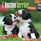 BT Boston Terrier Puppies 2015 Mini 7x7