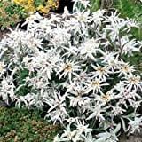 Outsidepride Edelweiss - 5000 Seeds