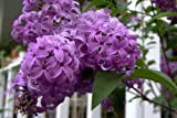 25 FRENCH / OLD FASHIONED LILAC Syringa Vulgaris Flower...