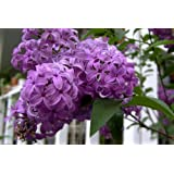 25 FRENCH / OLD FASHIONED LILAC Syringa Vulgaris Flower Shrub Bush Seeds ~ Seedville