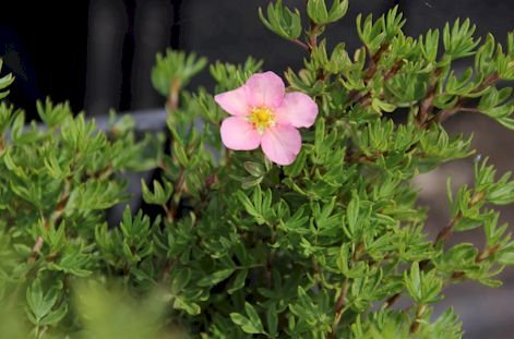 Potentilla fruticosa Pink Beauty (Lovely Pink) (Fingerstrauch Pink Beauty (Lovely Pink)® ) 30-40cm / Container (Laubgehölze)