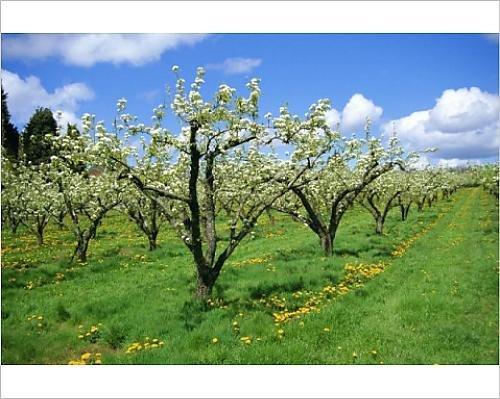 photographic-print-of-blossom-on-pear-trees-in-orchard-holt-fleet-worcestershire-england-uk