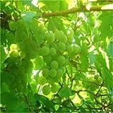 50/bag Grape Seeds Bonsai Fruit Black Grape Seeds Dwarf Grapes Tree Easy Grow Japanese Dwarf Fruit For Home Garden...