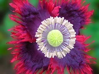 100 Poppy Seeds. Drama Queen Poppies. Papaver. One Stop Poppy Shoppe® Brand.