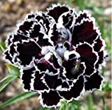(WBC S777) 50 Seeds / Pack, Fresh Seeds of Rare White Black Carnation Flower Dianthus Chinensis
