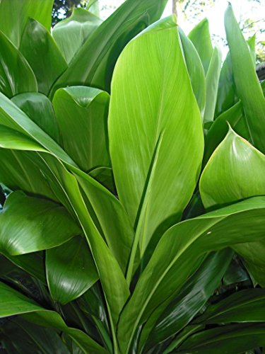 Green Ti Plant with new roots (For Ti Plant compare prices)