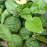 2-3 Year Old Kaffir Lime Tree in Grower's Pot, 3 Year Warranty