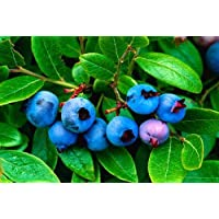Baby Blue Groundcover Blueberry Plant - 4