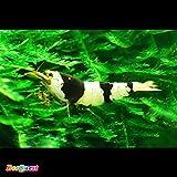 【BeeQuest】ブラック ビーシュリンプ バンド 鮮やかSグレード 5匹+補償1匹(飼料3品付き)[生体]