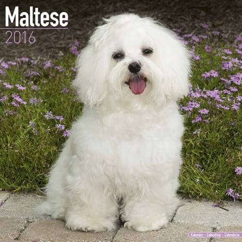 Maltese Calendar - Only Dog Breed Maltese Calendar - 2016 Wall calendars - Dog Calendars - Monthly Wall Calendar by Avonside