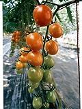 ピッコラ カナリア パイオニアエコサイエンスのミニトマト品種です