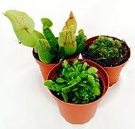 Carnivorous Terrarium Plants – Assort…