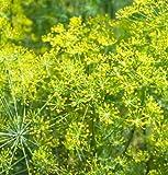 David's Garden Seeds Herb Dill Bouquet D920 (Yellow) 1000 Organic Seeds