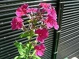 宿根フロックス(ピンク花)ポット苗