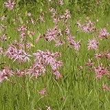 Wildflower - Ragged Robin - 3000 Seeds