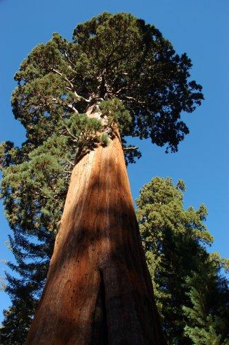 seedeo-berg-mammutbaum-sequoia-giganteum-50-samen