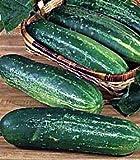 Straight Eight Cucumber 400 Seeds