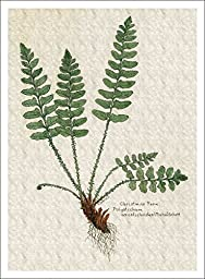 Botanical Print of Christmas Fern, High Quality Giclee Print, 7 X 9.5 Inches