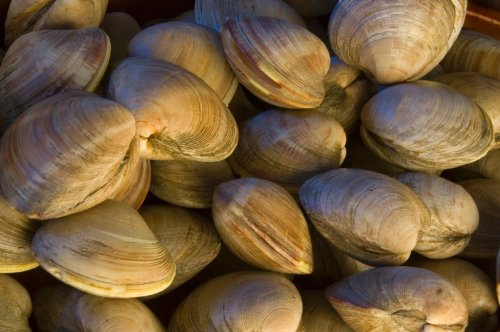 Rhode Island Littlenecks Clams